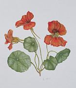 Botanical Paintings - Nasturtium by Ruth Hall