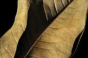 Leaf Abstract Posters - Natural Seduction Poster by Dan Holm