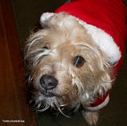 Cairn Terrier Photos - Naughty or Nice? by Tambra Kendall-Sas