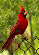 Shelley Myke Art - Northern Cardinal Perched on a Rusted Fence by Inspired Nature Photography By Shelley Myke
