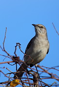 Mockingbird Framed Prints - Northern Mockingbird III Framed Print by Bruce J Robinson