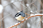 Bird On Tree Prints - Nuthatch in Winter Print by Peggy Collins