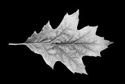 Jennie Marie Schell - Oak Leaf Black and White