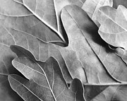 Jennie Marie Schell - Oak Leaves in Monochrome