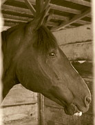 Contemplative Posters - Old Time Horse Portrait Poster by Angie Vogel