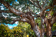 Jenny Rainbow - Old Tree in Eureka. Mauritius