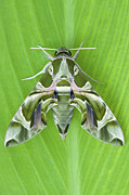 Color Green Posters - Oleander Hawk moth Poster by Tim Gainey