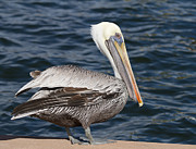 Feathers Look Framed Prints - On the Edge - Brown Pelican Framed Print by Kim Hojnacki