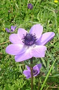 Tracey Harrington-Simpson - One Delicate Pale Lilac Anemone...