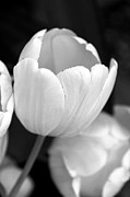 Jennie Marie Schell - Opening Tulip Flower Black and White