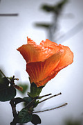 Traffic Control Prints - Orange Hibiscus LAX 2 Print by Deborah Smolinske