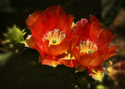 Saija  Lehtonen - Orange Prickly Pear Cactus