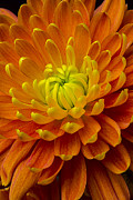 Orange Prints - Orange yellow mum Print by Garry Gay