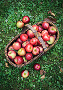 Fruit Basket Framed Prints - Orchard fresh picked apples Framed Print by Edward Fielding