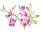 Orchids Drawings - Orchids by Natasha Denger