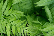 Ostrich Photos - Ostrich Fern Leaves by E B Schmidt