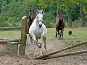 Running Horses Photos - Over The Fence by Angel  Tarantella