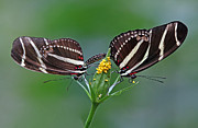 Insect Pictures Framed Prints - Pairing Zebra Longwing Butterflies Framed Print by Juergen Roth