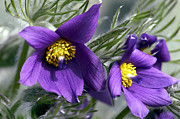 Pasqueflower Posters - Pasque Flower Poster by Sharon  Talson