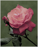 Princes Digital Art Posters - Pastel Rose  Poster by aGeekonaBike