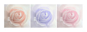 Purple Roses Photo Prints - Pastel Roses Triptych Panel Print by Jennie Marie Schell