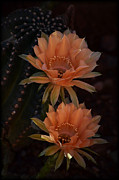 Saija  Lehtonen - Peach Colored Echinopsis