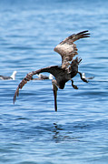 Tim Moore Metal Prints - Pelican Dive Metal Print by Tim Moore