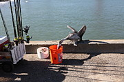 Wingsdomain Art and Photography - Pelican Thief at San Francisco Torpedo...
