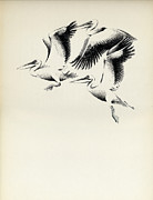 Pelican Drawings Metal Prints - Pelicans Metal Print by Mamoun Sakkal