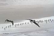 Foggy Day Digital Art Prints - Pelicans Off For A Foggy Day Of Fishing Print by Tom Janca