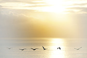 Pelicans Over Malibu Beach California Fine Art Print by Artist and Photographer Laura Wrede