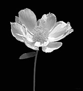 Jennie Marie Schell - Peony Flower Portrait Black and White
