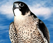 Artists4god Prints - Peregrine Falcon Print by Rose Santuci-Sofranko