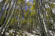 Trail Prints - Piney Lake Aspens Print by Michael J Bauer