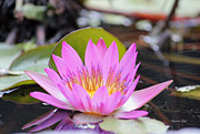 Suzanne Gaff - Pink and Yellow Lotus