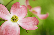 Dogwood Photos - Pink dogwood blossoms by Oscar Gutierrez