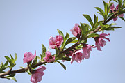Peaches Art - Pink Peach blossoms by Efraim Bar
