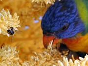 Australian Bees Posters - Plenty Shared - Rainbow Lorikeet Poster by Linda Hollis