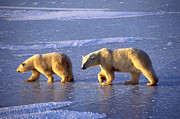 Francois Gohier and Photo Researchers - Polar Bear and Young