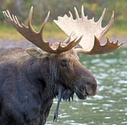Adam Jewell - Portrait Of A Glacier Moose