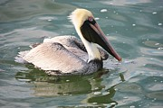 Coastal Birds Framed Prints - Pretty Pelican in Pond Framed Print by Carol Groenen