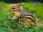 Eastern Chipmunk Photos - Princess Buttercup by ABeautifulSky  Photography