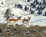 Horns Framed Prints Posters Prints - Pronghorn Antelope in Winter Scene Print by James Futterer