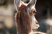 West Yellowstone Photos - Pronghorn Eye by Bruce Gourley