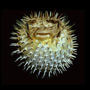 Porcupine Fish Art - Pufferfish by Scott Frier