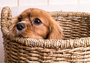 Edward Fielding - Puppy in a laundry basket