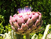Cindy Nunn - Purple Artichoke Bloom