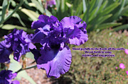 Kate Farrant - Purple Iris