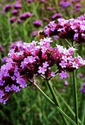 Swamp Milkweed Photos - Purple Swamp Milkweed by Elizabeth Lakins