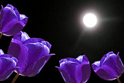 Light And Dark  Prints - Purple Tulips in the Moonlight Print by Kathie McCurdy
